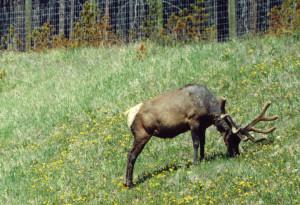 Elk 02