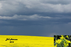 Canola field against approaching thunderstorm.