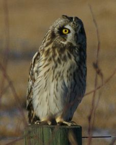 Owl, Short-eared 056a