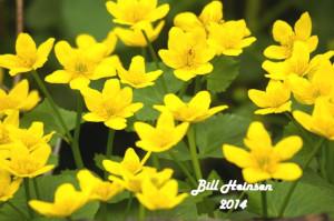SLNA-2-marsh-marigold