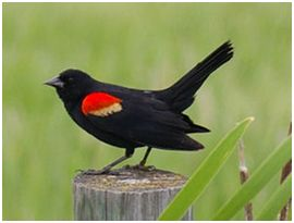 bird focus red-winged-blackbird ina innisfail natural area
