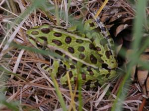 Frog, Northern Leopard 001