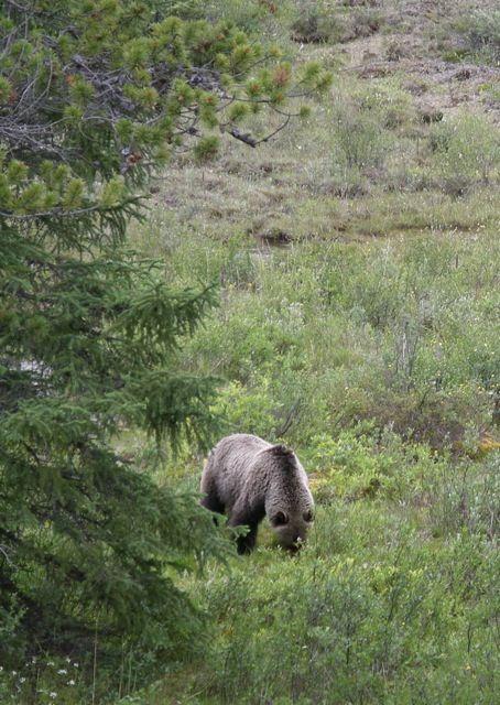 Grizzley Bear 2 - Larry Pimm