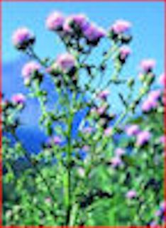 creeping_canada_thistle a