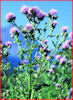 creeping_canada_thistle